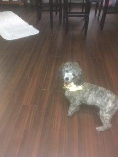 Sophie (Toy Poodle)