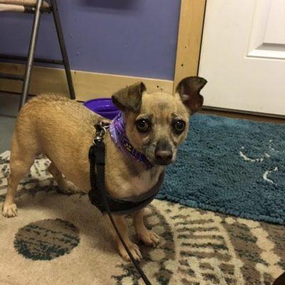 Wiley (Chihuahua/Pug)