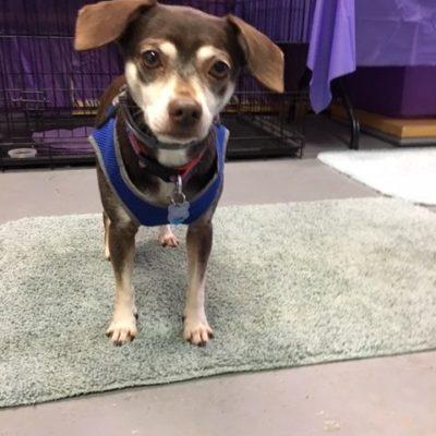 Jasper (Chihuahua/Beagle)