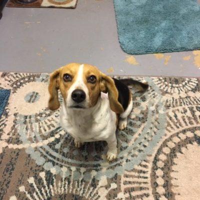 Reba (Beagle)