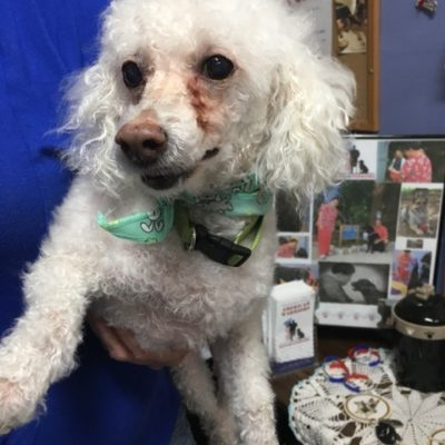 Chase (Poodle)