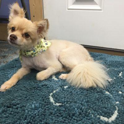 Cesar (Pomeranian)