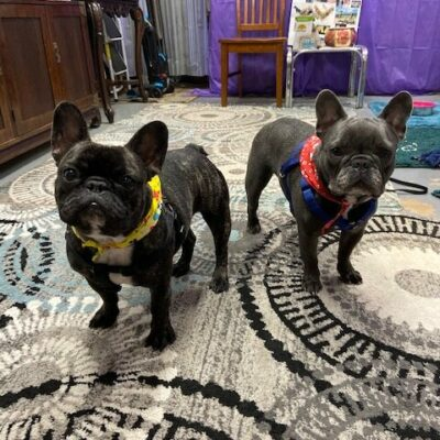 Vincenzo – French Bulldog
