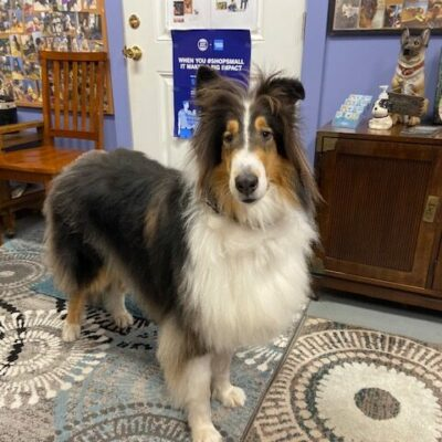 Darby – Collie