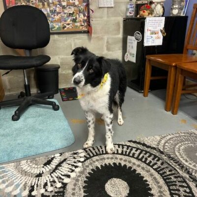 Sadie – Border Collie