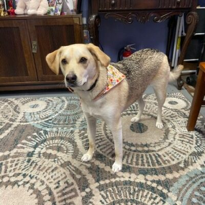 Sophie – Lab Mix