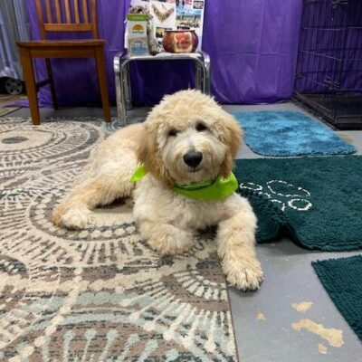 Harry – Goldendoodle