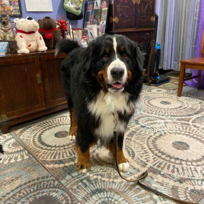 Bo – Bermese Mountain Dog
