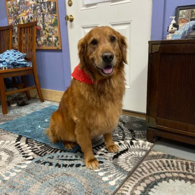 Wrigley – Golden Retriever