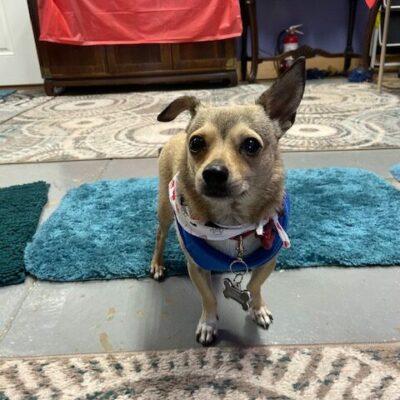 Gus – Chihuahua