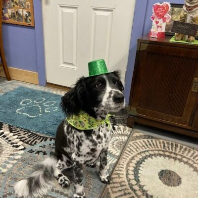 Jonah – English springer spaniel mix