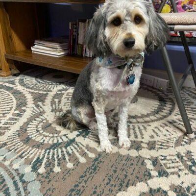 Ellie-poodle/aussie