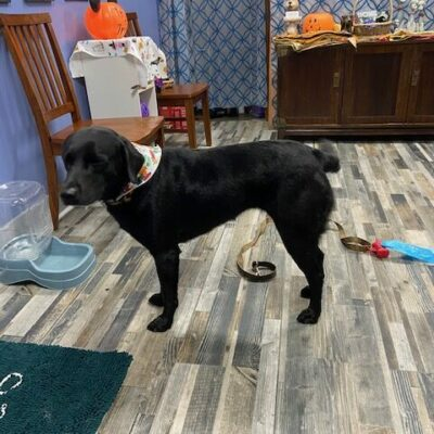 raleigh-black lab